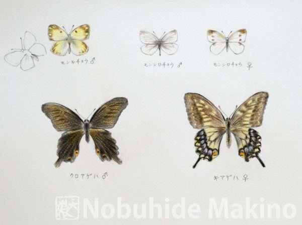 蝶々(素描)
