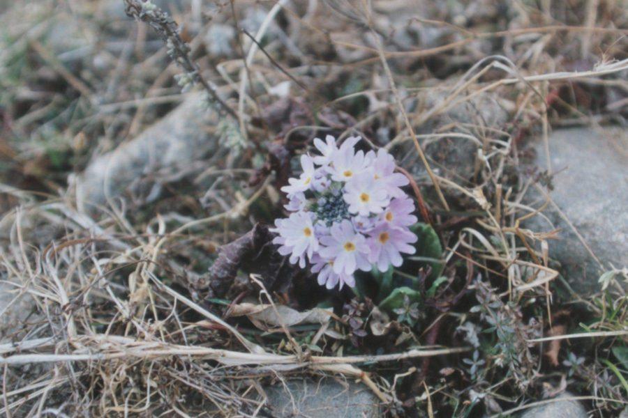 ヒマラヤで見た花